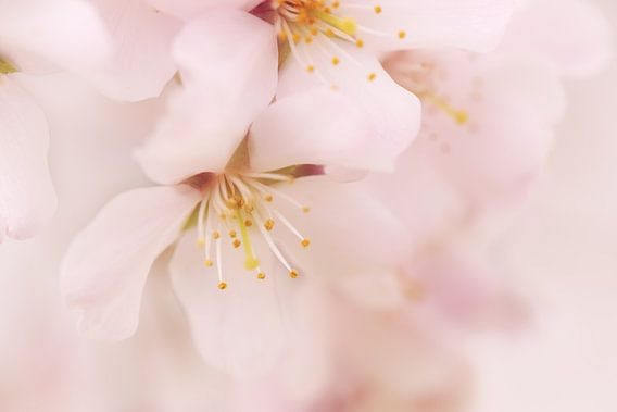 Bloeiende kersenbloesem van LHJB Photography