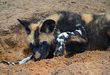 Afrikaanse wilde honden pup van Eye to Eye Xperience By Mris & Fred
