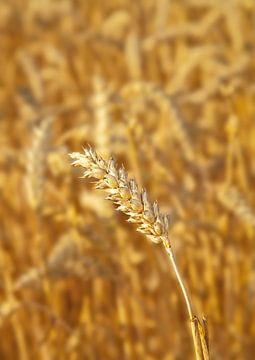Weizenfeld von BVpix