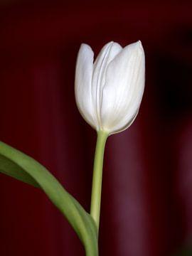 White Tulip van Eduard Lamping