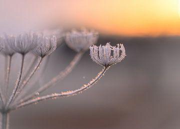 bevroren wilde peen van Tania Perneel
