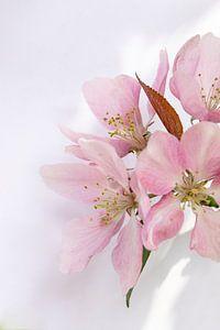 Roze appelbloesem van