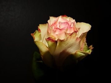 Roos von Simon De Lange