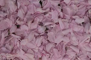 Roze bloemblaadjes van de Prunus japonica von Cora Unk