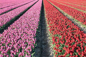 Tulpenfeld mit lila und roten Tulpen. von Albert Beukhof
