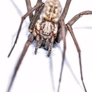 Harige spin in aanvalshouding op witte achtergrond.