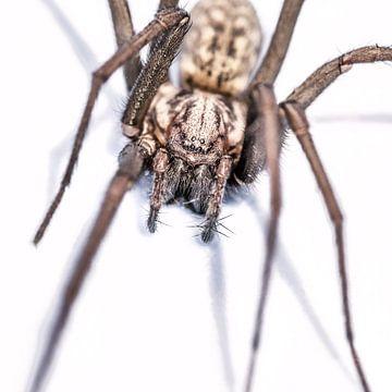 Harige spin in aanvalshouding op witte achtergrond. sur Harrie Muis