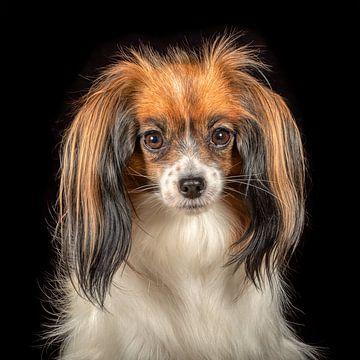 Papillon-Hund von Tony Wuite