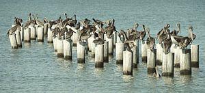 Pelikanen von Jaap Voets