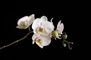 Orchidee von alain Hautman