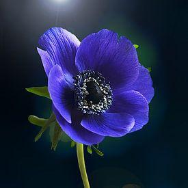 Blauwe anemoon ( Anemone coronaria) van Flower and Art