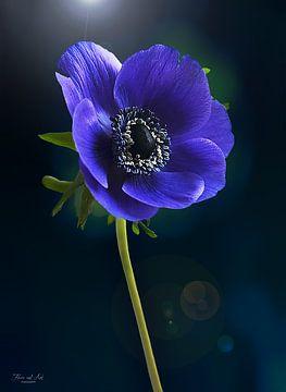 Blauwe anemoon ( Anemone coronaria)