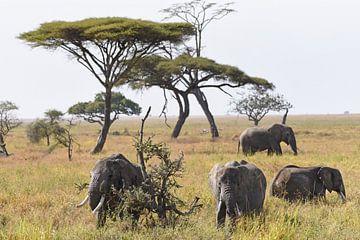 Groep Afrikaanse olifanten op de grasvlakte van Serengeti National Park, Tanzania van Koolspix