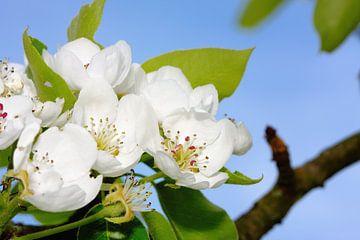 Appelbloesem van Jan Brons