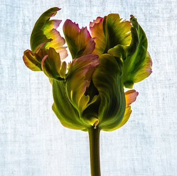 Tulpe in ihrer ganzen Pracht! von Annelies Martinot