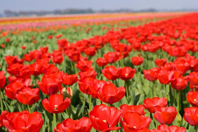 Veld met rode tulpen van Stefanie de Boer