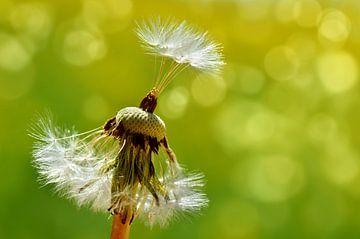 Pusteblume, dandelion sur