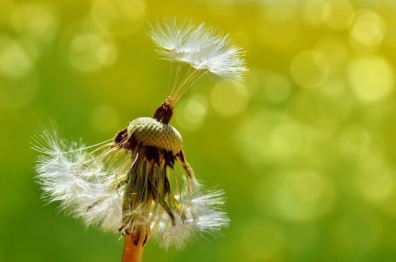 Pusteblume, dandelion van Violetta Honkisz