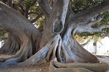 Ficus Elastica ( Gummibaum) von Jan Katuin