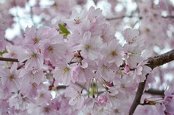 pink dream van zwergl 0611