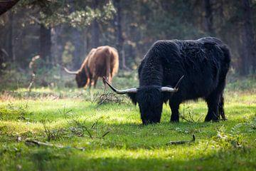 Schotse Hooglanders in de bossen van Rene  den Engelsman