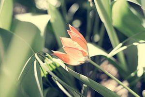 Kleine oranje tulp van