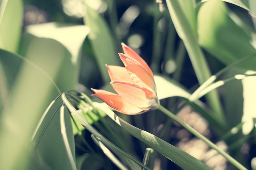 Kleine oranje tulp van Valqueira van der Does