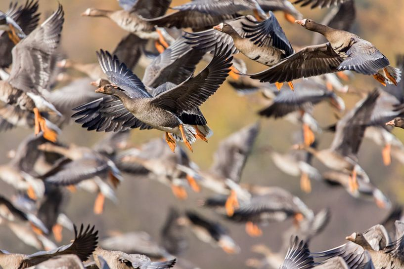 Fliegende Gänse von Cees van Vliet