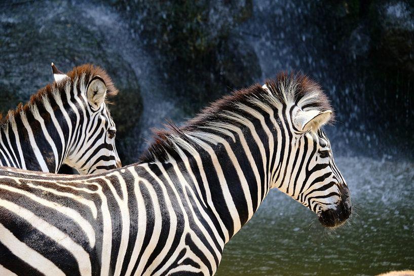 Zebra's van Arno Maetens