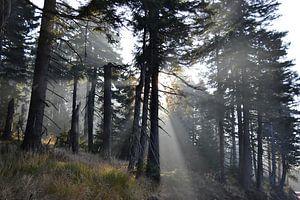Bos met sparren aan de voet van de Brocken in het Harz Nationaal Park