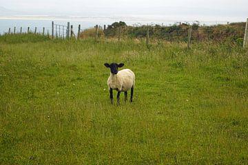 Schapen op Inishowen , het grootste schiereiland van Ierland van Babetts Bildergalerie
