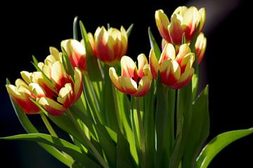 Tulpenstrauß vor dunklen Hintergrund von Anja Uhlemeyer-Wrona