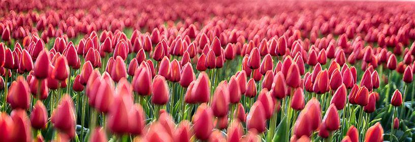 Early Morning Tulips Red Panorama van Alex Hiemstra