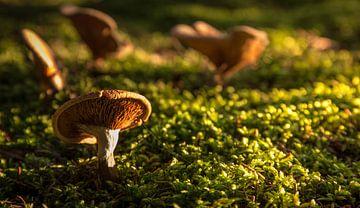 herfst paddenstoel  sur Martijn van Steenbergen