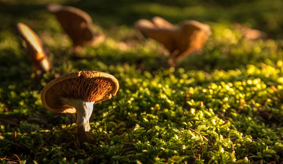 herfst paddenstoel  van Martijn van Steenbergen