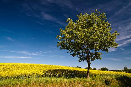 Tree on a canola field