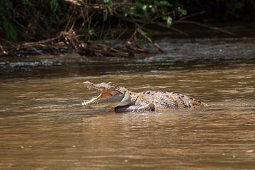 Krokodil im Fluss in Costa Rica. von Mirjam Welleweerd