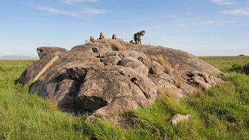 Mannetjes leeuwen op de rotsen in Tanzania Afrika van Robin Jongerden