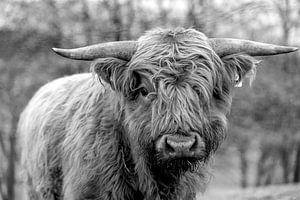 Jonge stier van het Schotse hoogland vee in zwart en wit van Harald Schottner