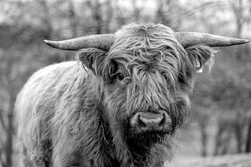 Jungbulle des schottischen Hochlandrindes in schwarz-weiss von Harald Schottner