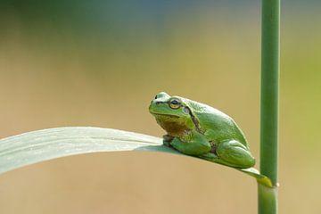 Boomkikker op rietstengel in het groen van Jeroen Stel