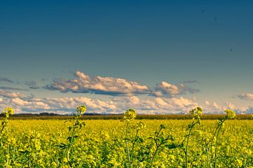 Rapsfeld Panorama von Miroslav Plahusch