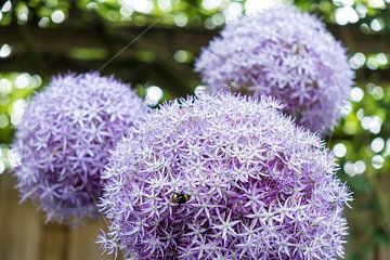 bollen bloeiende sierui in lila paarse look von Idema Media