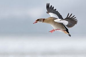 Egyptian Goose  (Alopochen aegyptiacus) in winter, flying, just before landing