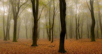 Beukenbomen tijdens een mistige herfst ochtend. sur