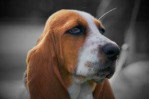 Basset Hond sur Dennis Kok
