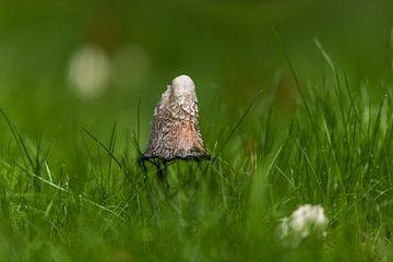 Stinkzwam in het gras in de herfst van Harrie Muis