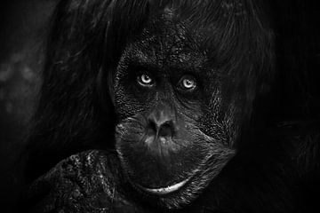Smartes Gesicht Orang-Utan Nahaufnahme. Phlegmatischer leicht ironischer Augenaufschlag. Dunkler, sc von Michael Semenov