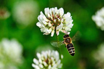 Klee und Biene