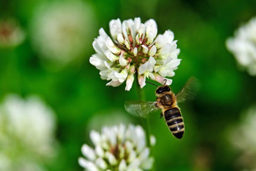 Klee und Biene von Borg Enders